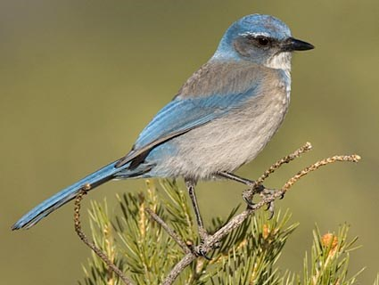 Woodhouses Scrub-Jay Photo