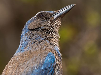 Woodhouse's Scrub-Jay