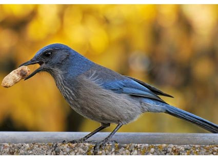 Woodhouse's Scrub-Jay, Identification, All About Birds ...