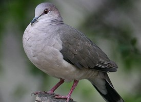 White-tipped Dove Photo