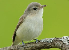 Warbling Vireo Photo