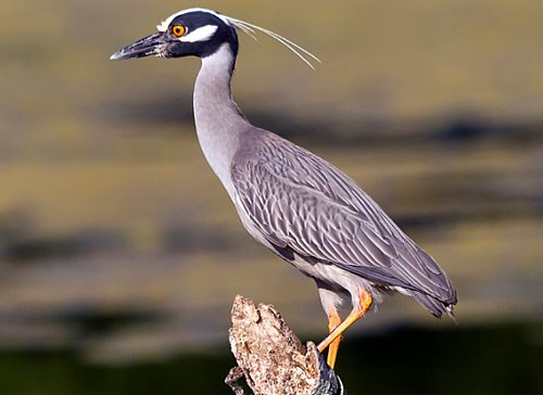 Yellow-crowned Night-Heron Photo