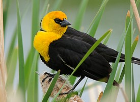 Yellow headed blackbird photo
