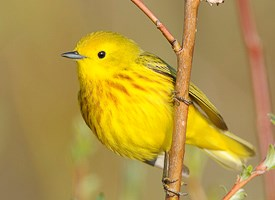 Yellow Warbler Photo
