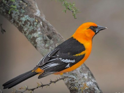 Hooded Oriole Identification All About Birds Cornell