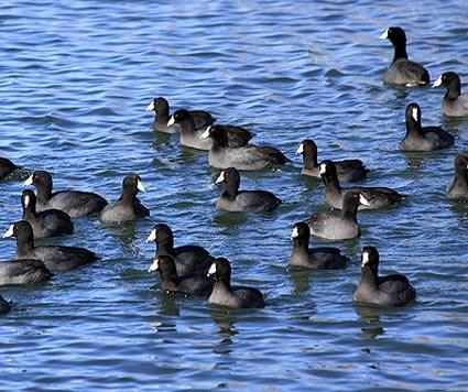 Wyoming Birds Wildlife Photography Waterfowl Ducks Geese Swans
