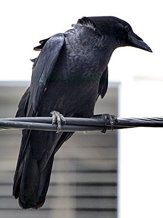 American Crow on All About Birds