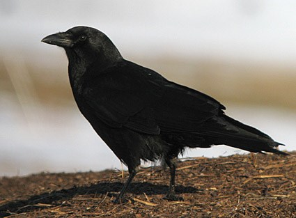 Common Raven Identification All About Birds Cornell Lab Of - Bird map of the us crows