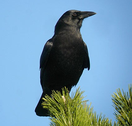 American Crow Identification All About Birds Cornell Lab Of - Bird map of the us crows