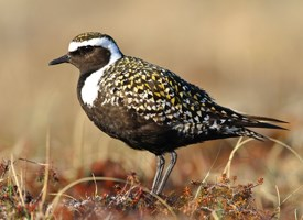 American Golden-Plover Photo