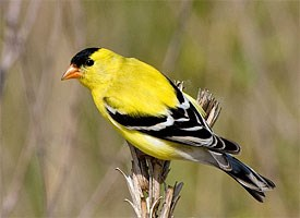 SOS #  7 :  Goldfinches are getting golder. More golden? They're ...