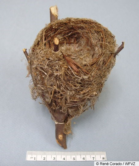 american goldfinch nest - photo #15