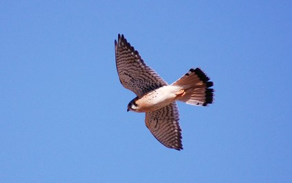 Adult male in flight