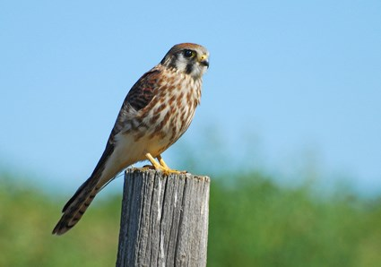 Kestrel American Kestrel Identification All About Birds Cornell Lab of