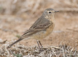 American Pipit Photo
