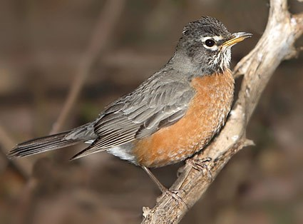 This Week In Nature: Holy springtime, Batman: Robins return to IWU