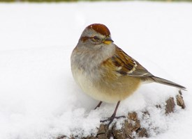 American Tree Sparrow Photo