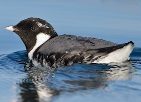 Ancient Murrelet Photo
