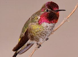 Annas Hummingbird Photo