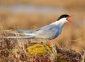 Arctic Tern Photo