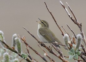 Arctic Warbler Photo