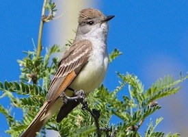Ash-throated Flycatcher Photo
