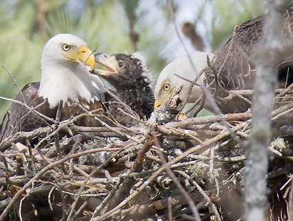 Adults feeding chick