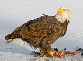 Bald Eagle, Life History, All About Birds - Cornell Lab of Ornithology