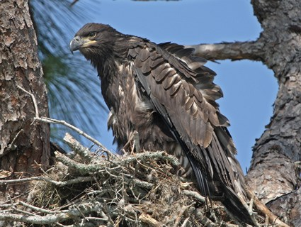 Juvenile in nest