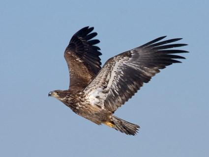 Bald Eagle | alaskazoo.org
