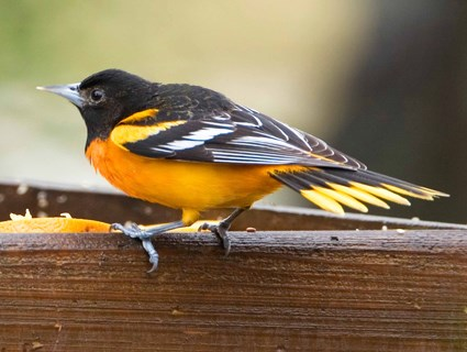 Baltimore Oriole (east)