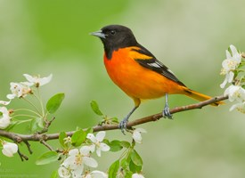 Baltimore Oriole Photo