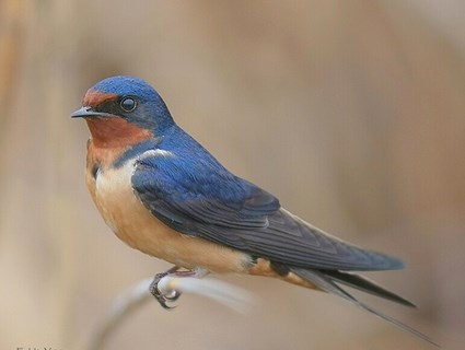Image result for Barn Swallows