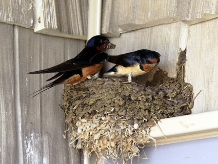 Male and female on nest