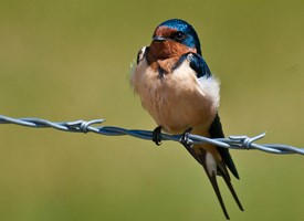 Barn Swallow Photo