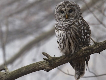 Image result for barred owl ontario