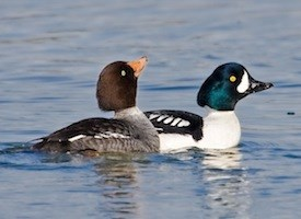 Barrow's Goldeneye Photo
