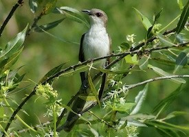 Black-billed Cuckoo Photo