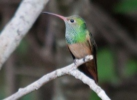 Buff-bellied Hummingbird Photo
