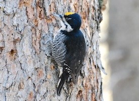 Black-backed Woodpecker Photo