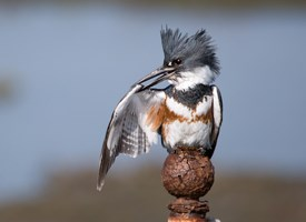 Belted Kingfisher Photo