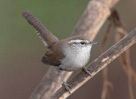 Bewicks Wren Photo