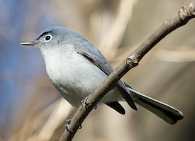 Blue-gray Gnatcatcher Photo