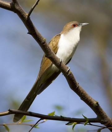 Black cuckoo bird - photo#18