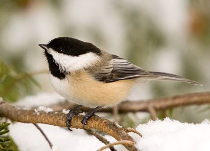 Image result for chickadee