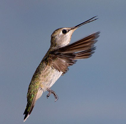 Adult female