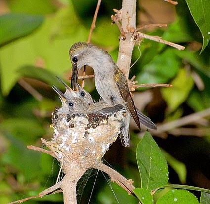 Adult female and nestlings