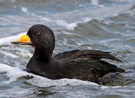Black Scoter Photo