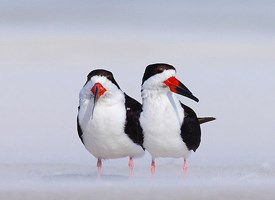 Black Skimmer Photo