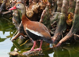 Black-bellied Whistling-Duck Photo